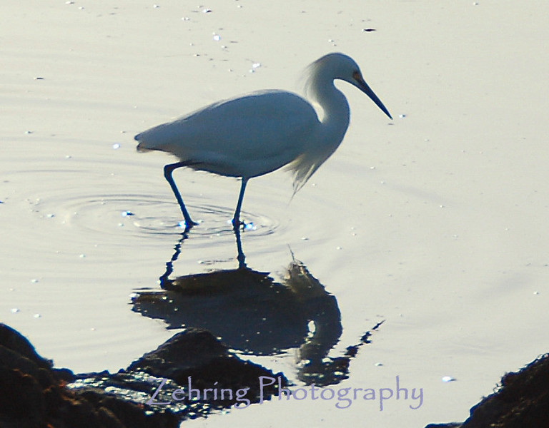Snowy egret fishing the tide pools off the California coast.