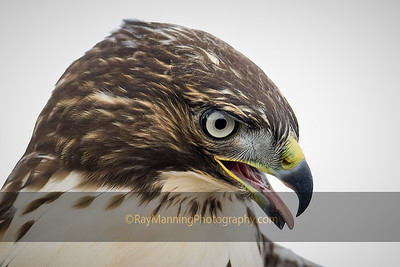 Pale Eyed Red-tailed Hawk