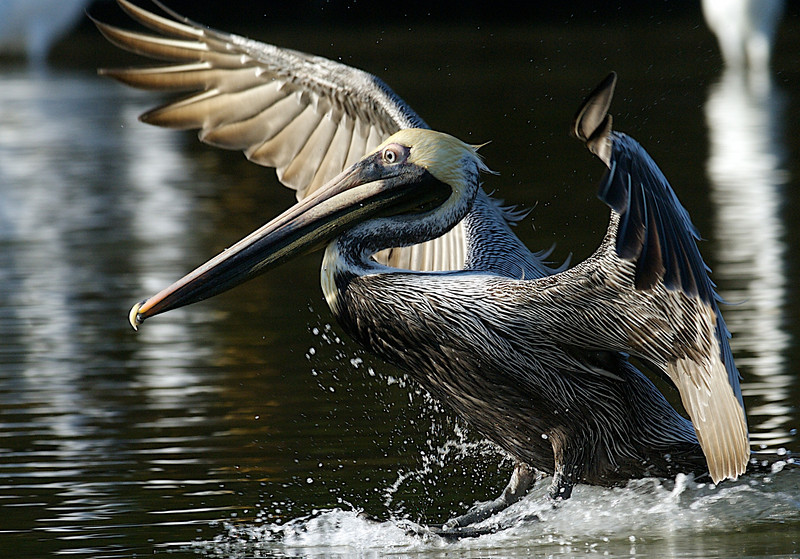 Brown Pelican, Ding Darling National Wildlife Refuge, Florida