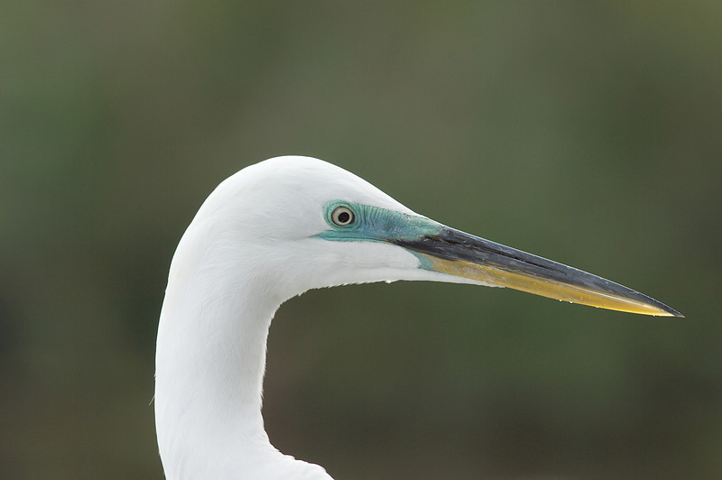 Great Egret, Merritt Island National Wildlife Refuge, Florida