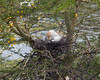Cattle Egret on nest with one chick sticking its head out.
