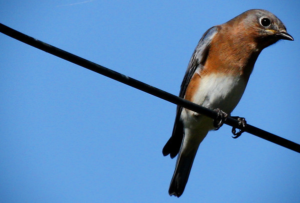 Adult female eastern bluebird (Sialia sialis) perched on a wire (2009_10_31_035929)
