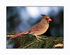 Northern Cardinal<br /> (Cardinalis cardinalis) Female