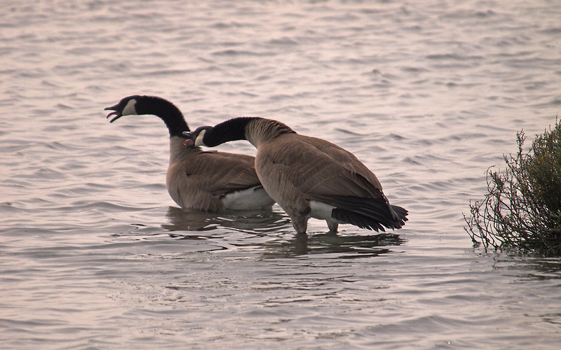 Canada Geese at Bolsa Chica Reserve - 19 Mar 2011