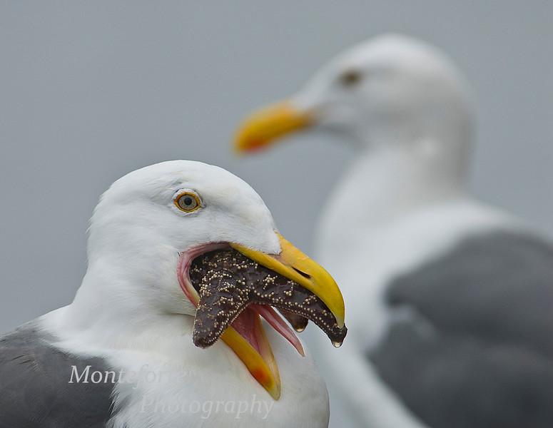Western Gull, Larus occidentalis with Sea Star