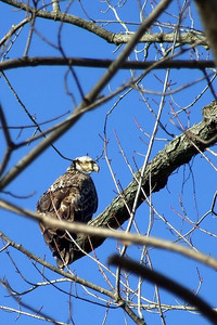 Juvenile bald eagle.  Found along the Wabash River near Georgetown, IN.