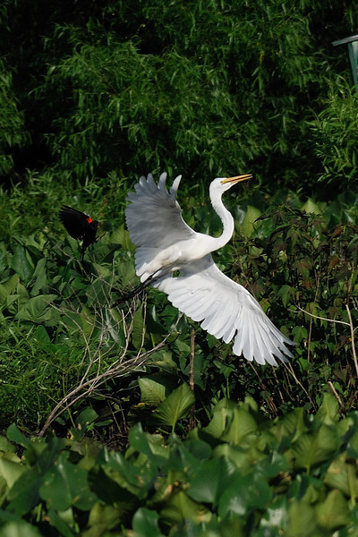 black bird chasing white bird<br /> (Red-winged)       (Great Egret)<br /> Hughes Hollow, Montgomery County, Maryland