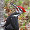 Mr. Pileated Woodpecker  2