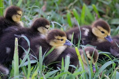 Muscovy duck chicks