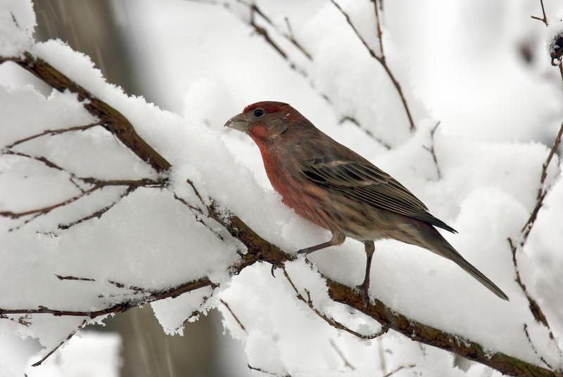 Purple Finch, Rockville, Maryland