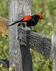 Red-winged Blackbird - Male (Agelaius phoeniceus)