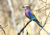Lilac-breasted Roller, Etosha National Park,Namibia