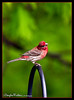 Purple Finch<br /> (Carpodacus purpureus)