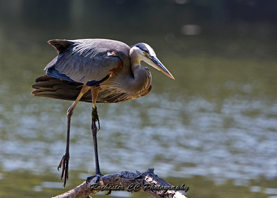 Great Blue Heron watching the lake in Durand Eastman Park