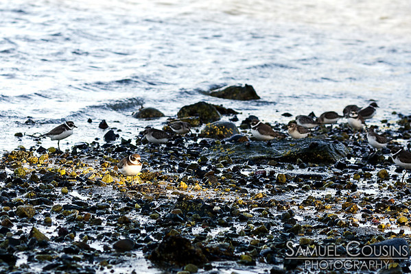 A semipalmated plover standing in a sunbeam on the rocks.