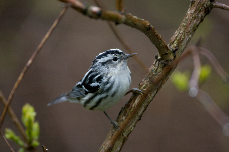 Black and White Warbler - May 2008