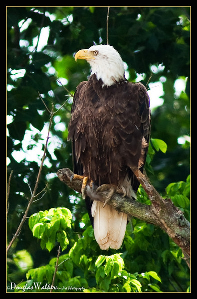 Bald Eagle<br /> (Haliaeetus Ieucocephalus)
