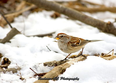American Tree Sparrow looking for seeds in the snow.