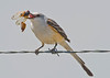 Sissor-tailed Flycatcher with cicada