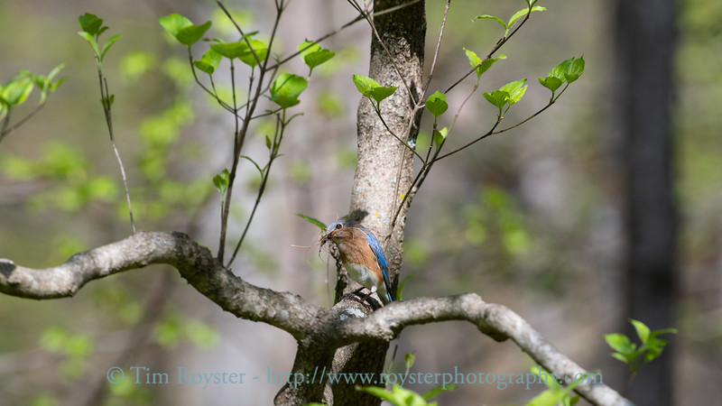 Female Eastern Bluebird with nesting material