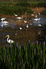 Egret Get together, Green Cay
