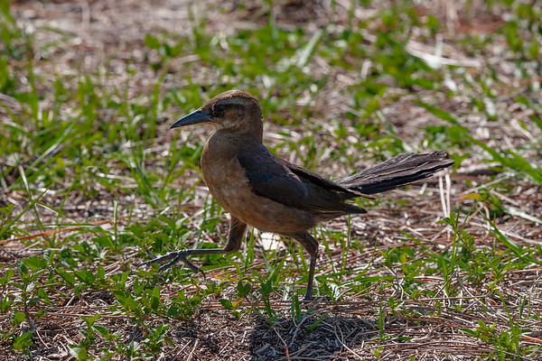 Female Boat Tail Grackle