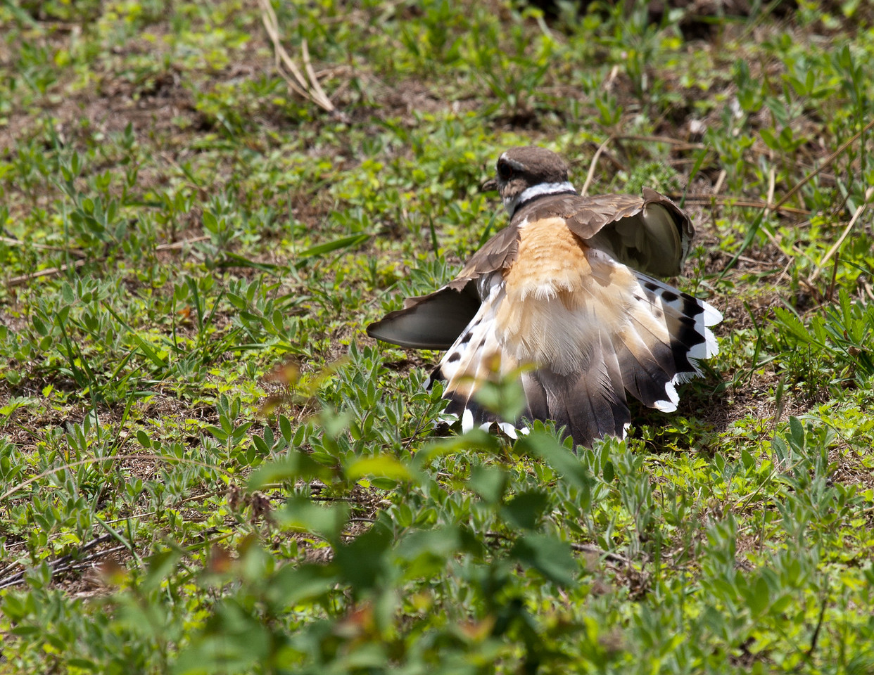 Killdeer and EggsEMW_9224