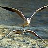 Birds in Flight. Felixstowe, United Kingdom