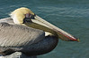 Brown Pelican, Sebastian Inlet, Florida
