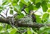Ruby-throated hummingbirds, near Station Rd. Bridge, 06-18-2018