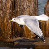 Gull in Flight 1
