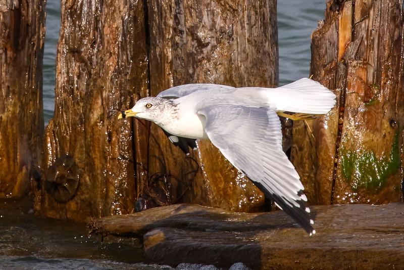 Gull in Flight 1
