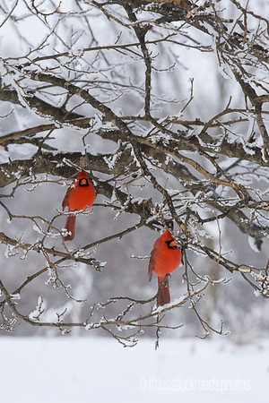 Pair of Male Cardinals