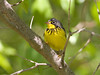 Canada Warbler - May 2008 - Magee Marsh
