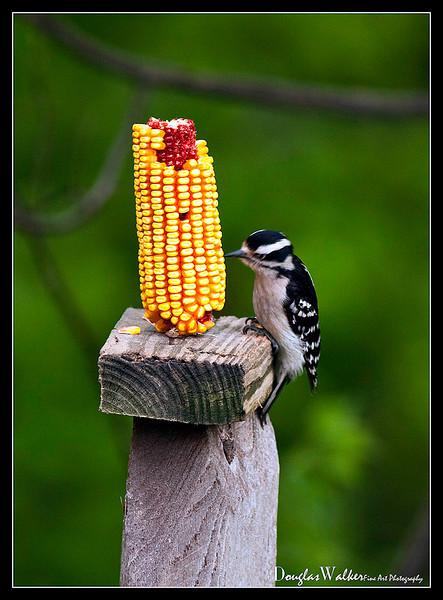 Hairy Woodpecker<br /> (Picoides villosus)