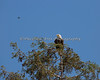 Female Bald Eagle perched on top of the tree, with a Hummingbird coming down for a closer look. - Milpitas - 10Apr2017