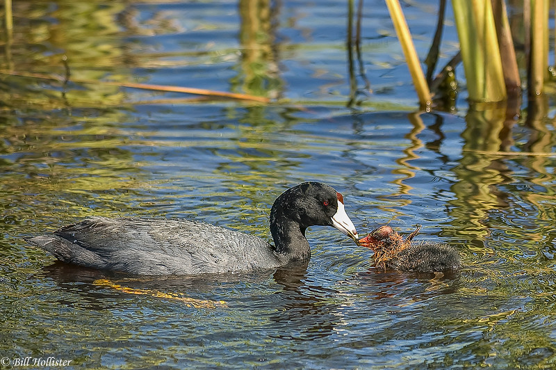 Common Gallinule with baby touching beaks #1a-3