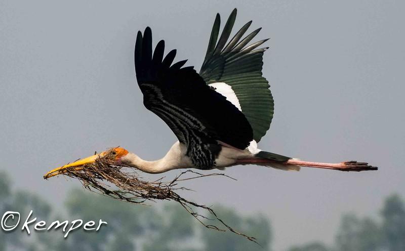 Painted Stork 1