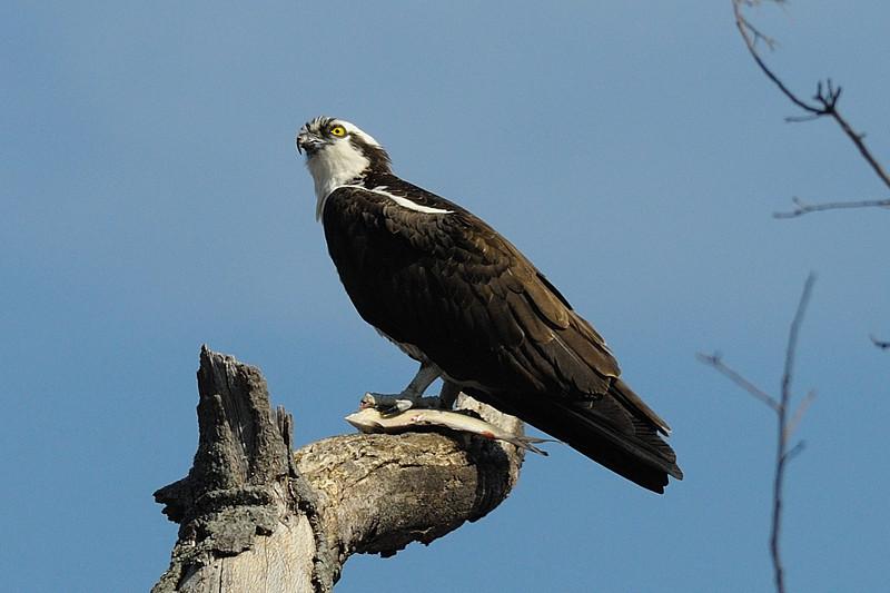 Osprey with fish<br /> Occoquan NWR, Virginia