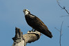 Osprey with fish<br /> Occoquan NWR, Virginia