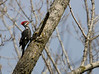 Pileated Woodpecker - NW Ohio - April 2009<br /> A common bird but an unusual find for Lucas County.