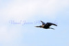 Anhinga in flight
