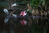 roseate spoonbill and wood storks