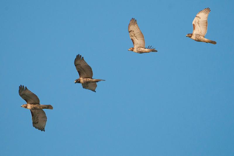 Harrier female flight sequence, Sandy Ridge Reservation, 9/24/10.