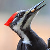 """  Female Pileated Woodpecker    (Dryocopus pileatus)  """