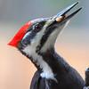 """""""  Female Pileated Woodpecker    (Dryocopus pileatus)  """""""