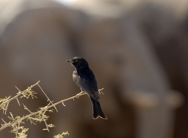 Fork-tailed Drongo (with elephant), Etosha National Park, Namibia