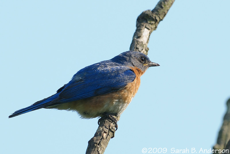 Eastern Bluebird<br /> <br /> Hughes Hollow, Montgomery County, Maryland<br /> July 2009