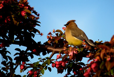 Waxwing Feeding on Apple Blossoms