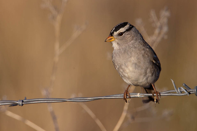 Chipping Sparrow, Malheur National Wildlife Refuge, Oregon